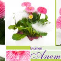 Gänseblümchen bei Blumen Anemone in München