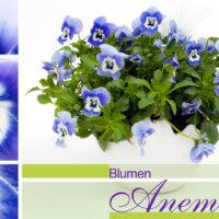 Stiefmütterchen bei Blumen Anemone