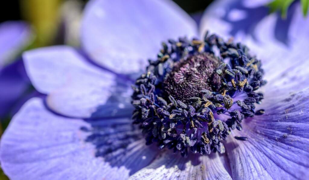 Blumen Anemone in München Sendling
