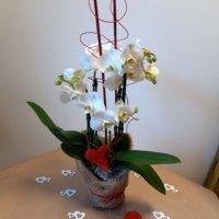 Valentins Orchidee 1